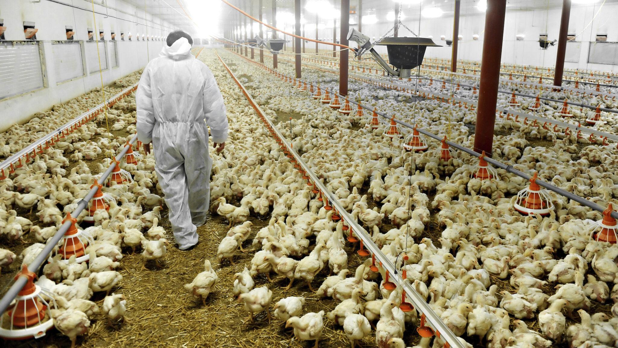 Le condizioni degli allevamenti e dei mattatoi favoriscono i focolai di covid